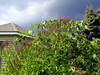 vervain and stormy sky, house, 15 Aug 2015 by mwms1916