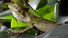 animal, amphibian, reptile, fauna, dactyloidae, wildlife,