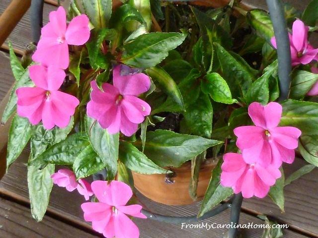 Late August Garden - impatiens