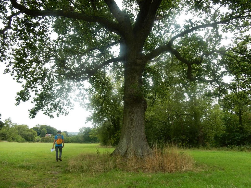 Big tree Nutfield to Oxted