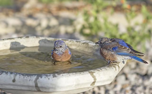 Western BlueBird 7d1_2415