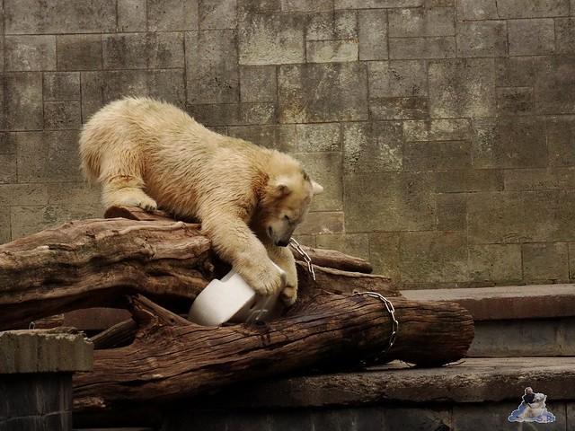 Eisbär Fiete im Zoo Rostock 19-09.2015 Teil 3  024