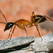 Camponotus nigriceps (F. Smith) Minor worker by jeans_Photos