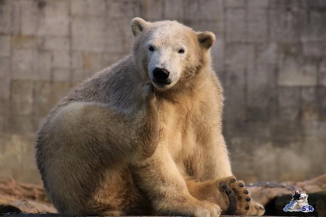Eisbär Fiete im Zoo Rostock 26.09.2015   0199