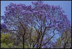 Jacaranda against blue sky-2=