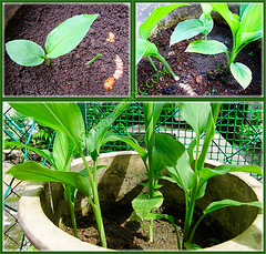 Propagated Curcuma longa (Turmeric, Common Turmeric, Indian Saffron, Curcuma) by rhizomes, April 2 2010
