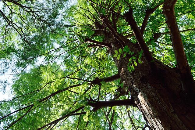 メタセコイア Metasequoia