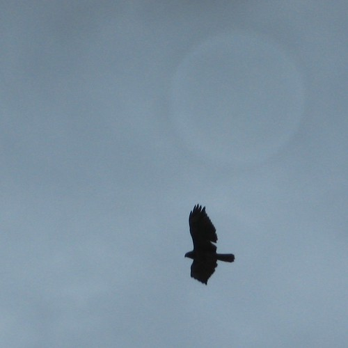Redtail hawk in silhouette