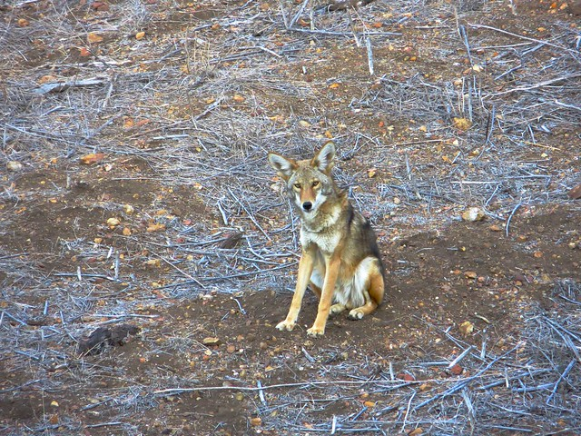 tuesday coyote
