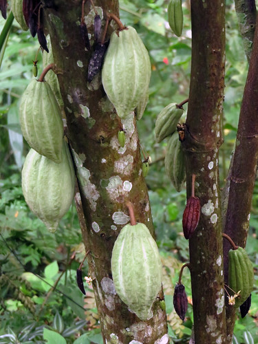 Cacao tree on a Puerto Vallarta Botanical Garden Trail (where chocolate come from)