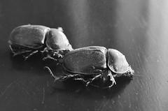 Elephant beetles