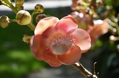 DSC_6470  flower of cannonball tree (Couroupita guianensis), Flecker Botanic Garden, Cairns, Queensland