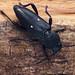 Turanoclytus raghidae by Tamás Németh