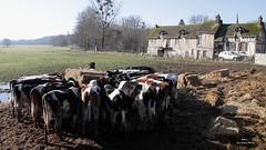 A la campagne, des vaches!