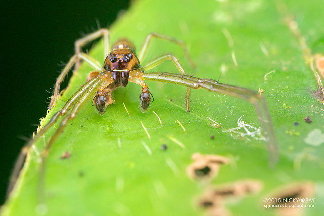 Crab spider (Thomisidae) - DSC_1300