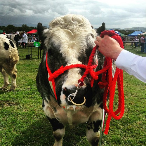 A Belgian Blue cow at the Cappamore Agricultural Show #Limerick #cow #animal #field #rural #countryside #instalimerick #ireland #igireland #munster #insta_ireland #red #photooftheday #irelandaily