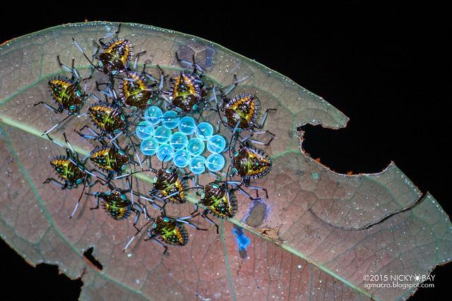 Stink bug nymphs (Pentatomidae) - DSC_2531