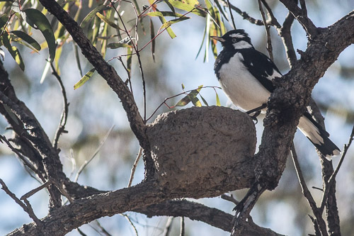 Magpie-lark and nest