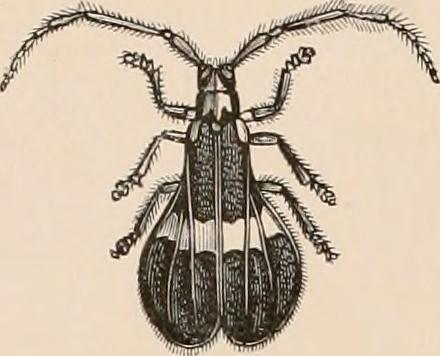 """Image from page 363 of """"Encyclopédie d'histoire naturelle; ou, traité complet de cette science d'après les travaux des naturalistes les plus éminents de tous les pays et de toutes les époques: Buffon, Daubenton, Lacépède, G. Cuvier, F. Cuvier, Geoffroy Sa"""