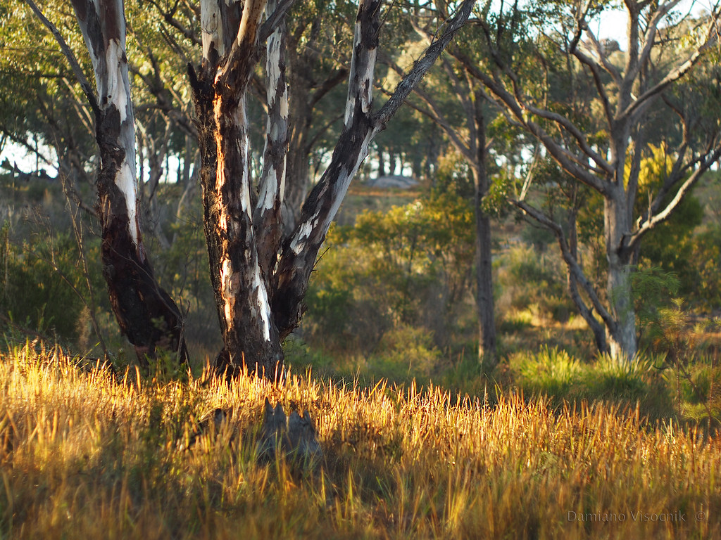 Gumtrees in the morning light_c