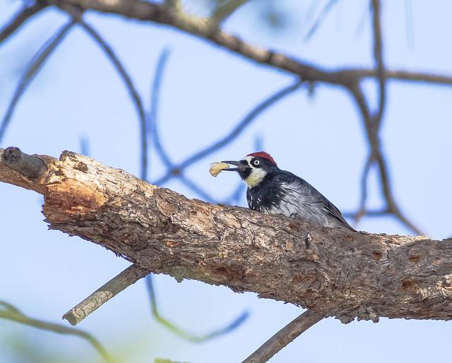 Acorn Woodpecker 7d1_2543
