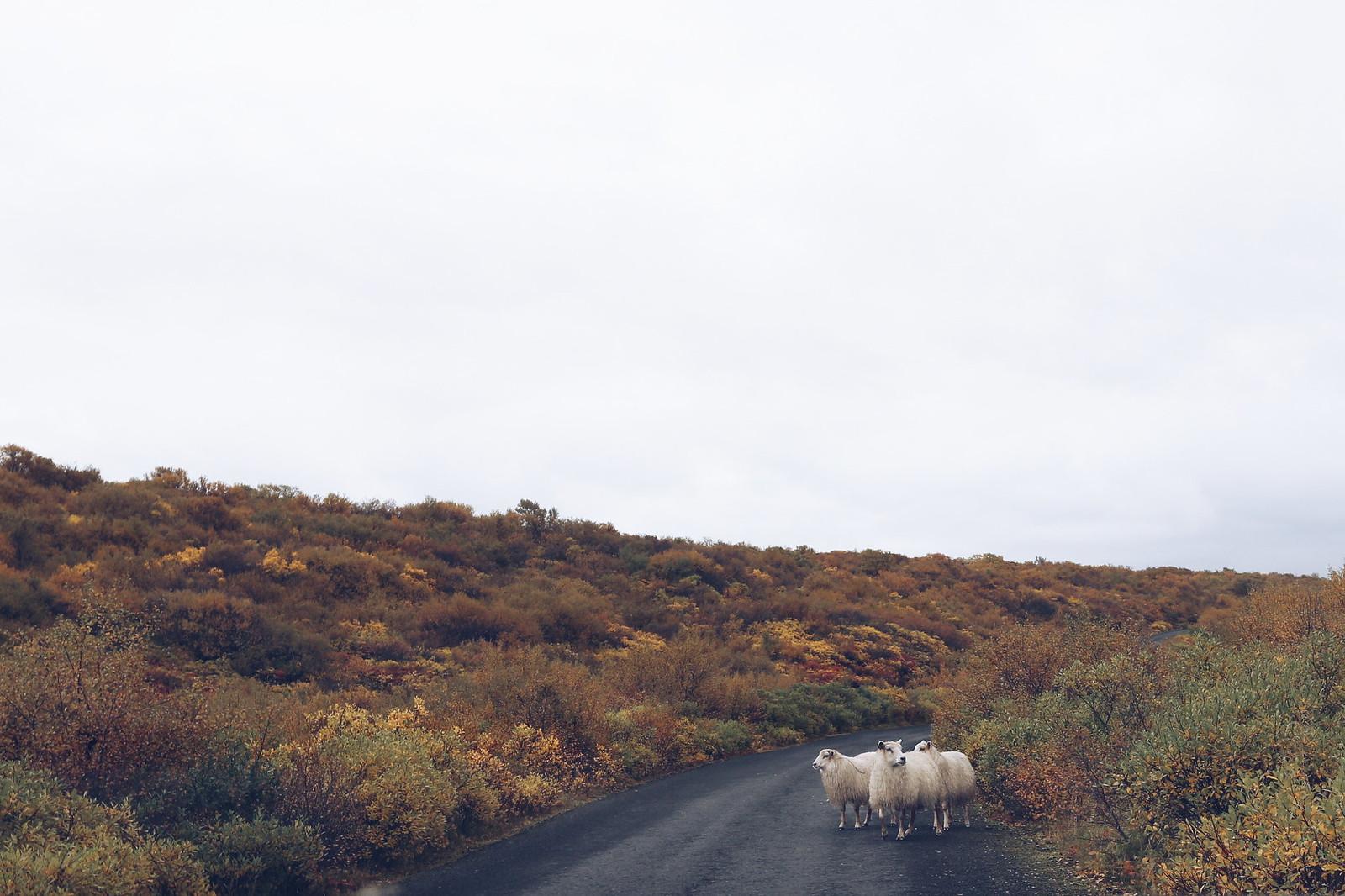 #iceland #sheep #road