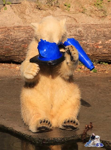 Eisbär Fiete im Zoo Rostock 26.09.2015   0298