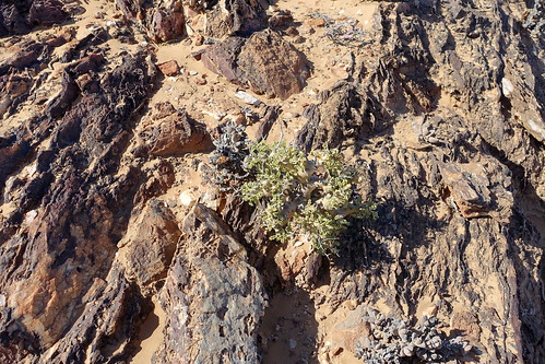 Pelargonium klinghardtense