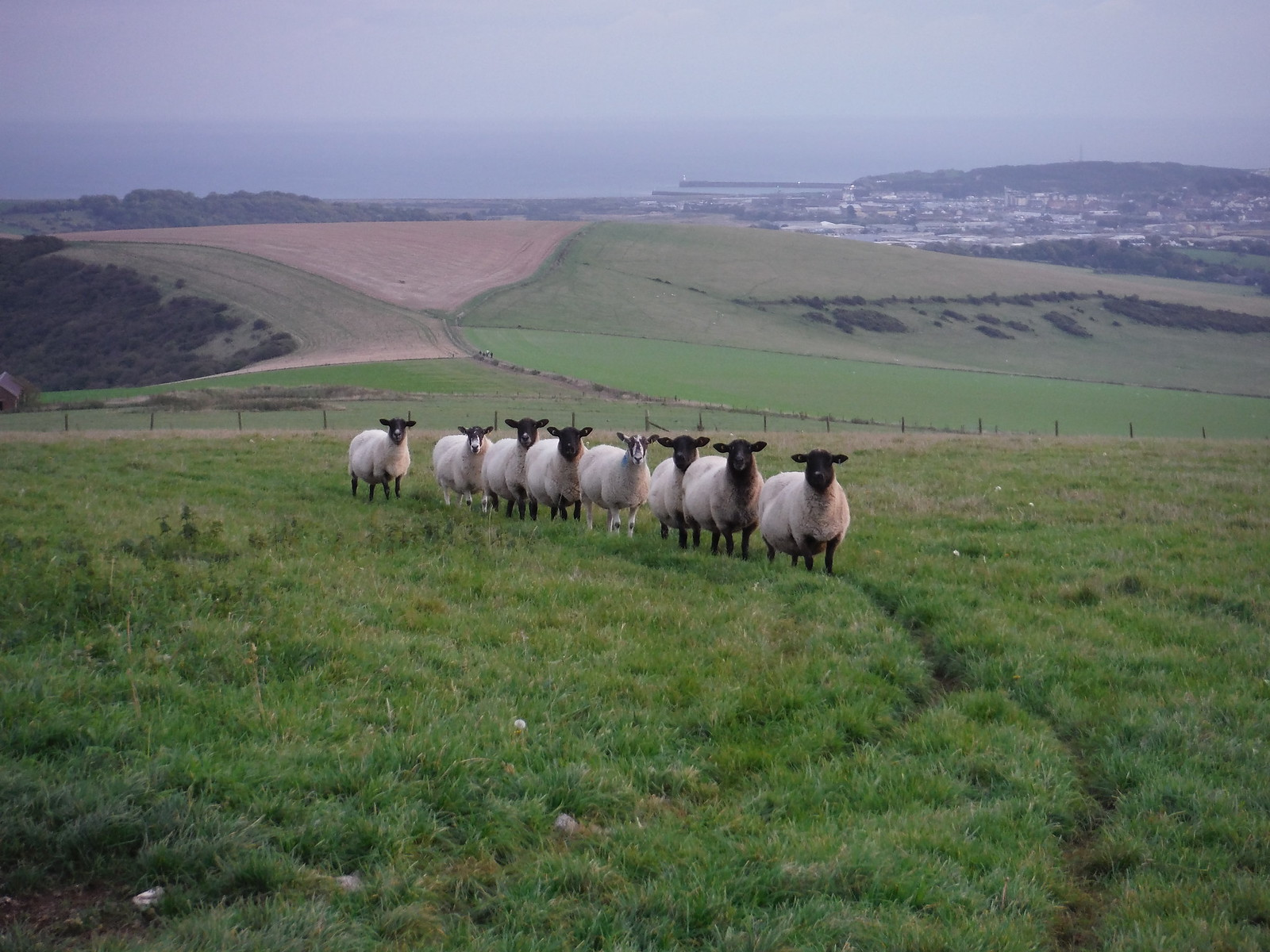 Sheep in an orderly line SWC Walk 25 - South Downs Way 8 : Southease to Eastbourne