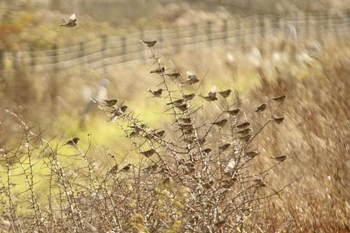 Linnet flock