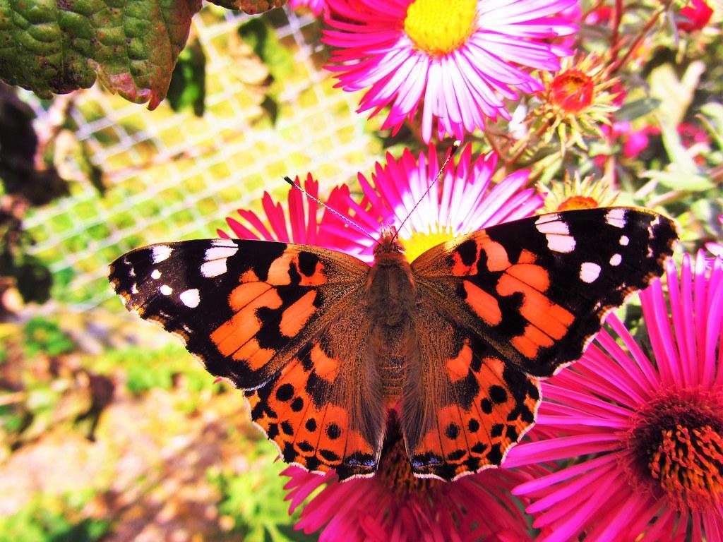 Butterfly 745