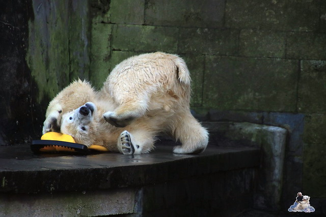 Eisbär Fiete im Zoo Rostock 13.12.2015  146