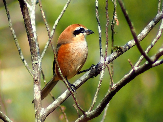 Bull-headed shrike (モズ)