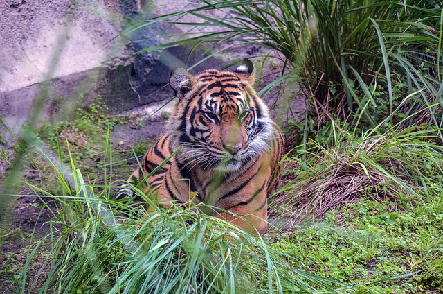Tiger AK MJT