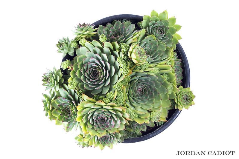 Sempervivum (joubarbe) et Aeonium arboreum  20035234313_355e332749_c