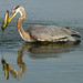 Heron with catfish by Peter_Cameron