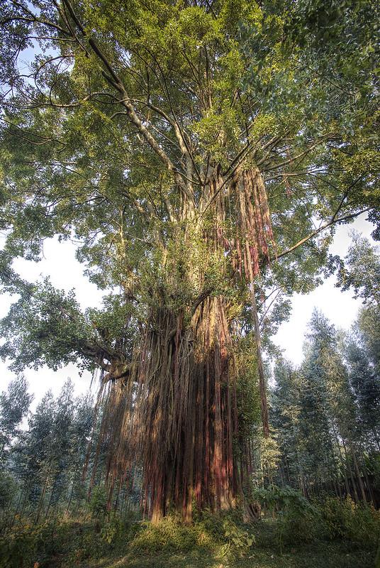 Tree of Life, Kinigi, Rwanda.