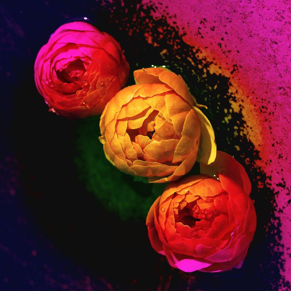 Rosen im Wasserbecken 3