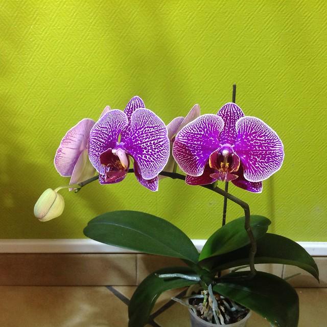 Floraison des orchidées de juin à........... 21228329868_fc2e2ae036_z