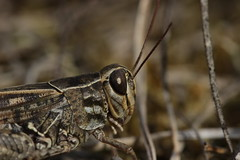 Italian Locust - Calliptamus italicus