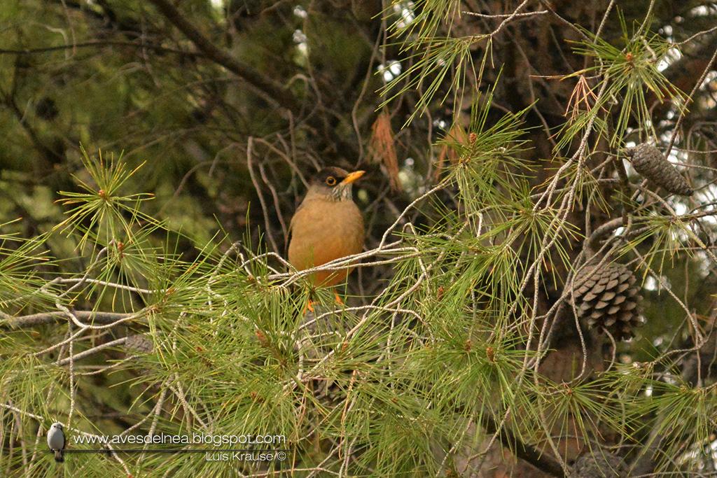 Zorzal patagónico (Austral Thrush) Turdus falcklandii