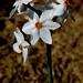 Narcissus elegans (Haw.) Spach - AMARYLLIDACEAE - Villanueva de Cauche (Málaga) (3) by Joaquín Ramírez