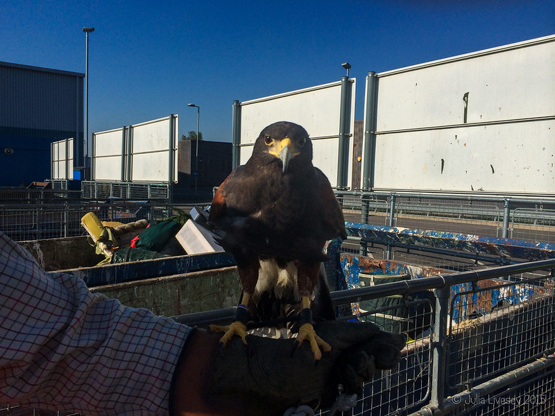 Look who I saw at the local recycling centre today - a Harris Hawk