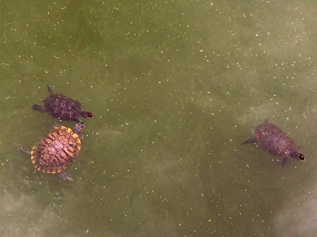 turtles at CP