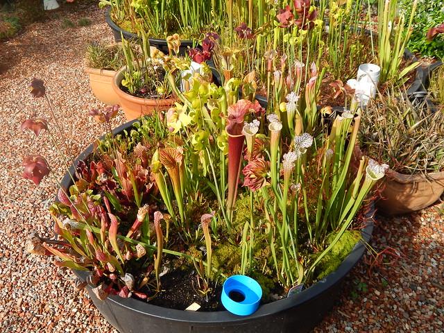 Hybrid Sarracenia bog garden