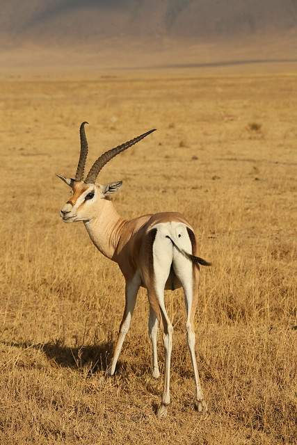 Gazelle.