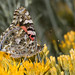 Painted Lady (Vanessa cardui), Cody, Wyoming by kmalone98