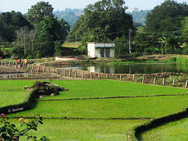 Fence and Paddy fields