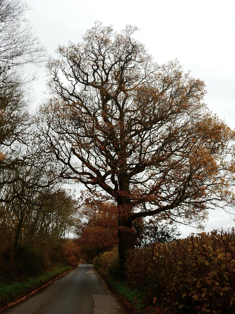 Russet tones Leigh to Sevenoaks. Oak & field maple