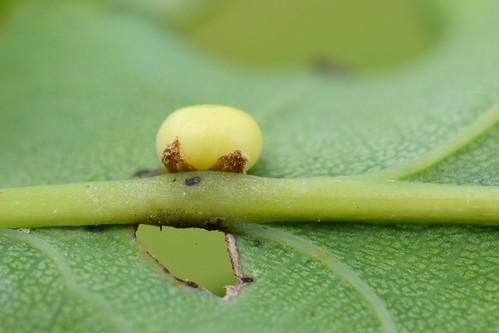 Neuroterus anthracinus on Quercus robur